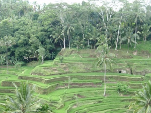 Paddy fields on Bali